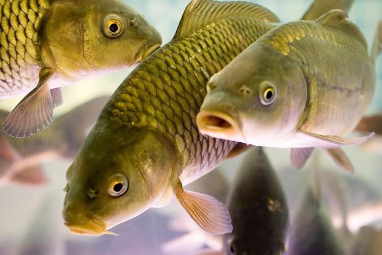 Как разводить рыбу в домашних условиях